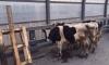 Очевидцы: на обочине КАД в Петербурге пасутся быки