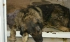 Глава поселка под Тамбовым привязал бездомного пса к бамперу и устроил показательную казнь