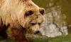 Англичан запугивают голодными медведями на ЧМ 2018