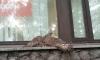 Любопытный сокол застрял около магазина на Заневском проспекте