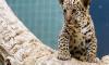 В Санкт-Петербурге пытались продать котенка ягуара под видом калининградского
