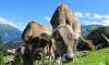 В Британии коровы до смерти затоптали профессора-мультимиллионера