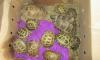 Из Петербурга к черному морю отправились 36 черепах
