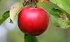 Яблочный спас 2016: короткие прикольные смс-поздравления в стихах