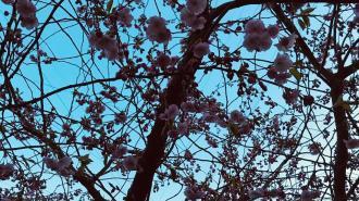 Цветение сакуры в Петербурге встречают еще в 16 садах и парках