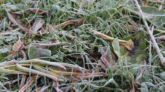 В Ленобласти ночью 30 апреля снова ожидаются заморозки до -4 градусов