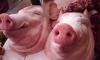К петербургской мечети подкинули свиную голову и муляж бомбы