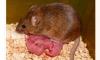 У однополой пары мышей родилось живое потомство