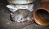 В Петербурге крысы выжили директора детской спортивной школы
