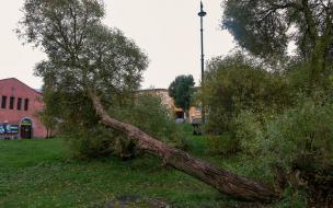 В Выборге проведут глубокую обрезку аварийных деревьев