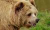 Прокуратура Петербурга встала на защиту сбитого в Якутии медведя
