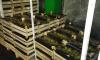 Пять тонн польских груш не попали на праздничный стол петербуржцев