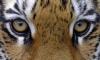 Тигр Амур откармливал козла Тимура ради тигрицы Тайги