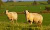 Хозяин стада овец попал под следствие из-за отказа убивать животных