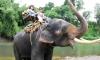 В Тайланде слон психанул и убил бивнем погонщика, а затем унес в джунгли семью туристов