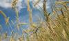 Эксперт прокомментировал рост стоимости на пшеницу