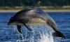 Минобороны купит самцам боевых дельфинов симпатичных самочек