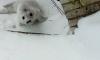 Из приграничной зоны с Финляндией российские зоологи пытаются спасти потерявшегося тюлененка
