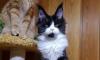 С выставки животных на Экспофоруме украли котенка мейн-куна