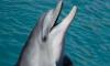 В Петербурге пройдет первое представление дельфиненка, рожденного в неволе