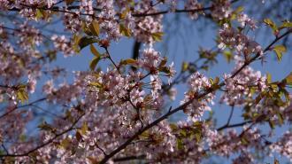 Охранять сакуру в Ботаническом саду будут волонтеры