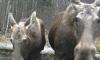 В фотоловушку Мшинского заказника попали семья лосей и медведица