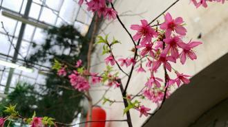 В Ботаническом саду зацвела первая в 2021 году сакура
