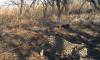 Котенок дальневосточного леопарда спасся от лесного пожара