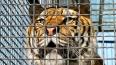 Полиция Воронежа задержала беглого тигра