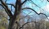 Зачем спиливать здоровые деревья в парке? ЕСТЬ ОТВЕТ!