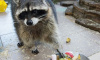 Петербуржцев восхитил прожорливый енот из Ленинградского зоопарка