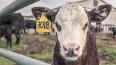 Под Лугой нашли полтонны гниющих останков коров