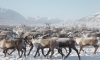 В Якутии дикие олени освободили совхозных