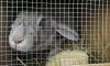 Из Петербурга в Самарскую область для лабораторных исследований отправили 50 кроликов