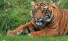 Пьяная школьница из Барнаула дразнила тигра ради эффектного селфи