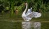 В  дублинском пруду лебедь крыльями убил собаку на глазах у хозяина