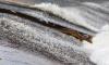 Более 3,5 тысяч молодых лососей выпустили в Неву под Новый год