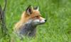 Петербуржцев попросили не трогать лис, пришедших из лесов Ленобласти