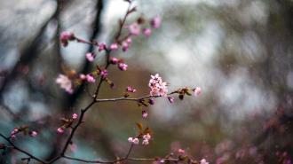 В Ботаническом саду зацвела сакура
