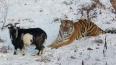 На встрече козла Тимура и тигра Амура после разлуки ...