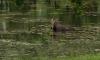 В воскресенье в Екатерининском парке лось купался в пруду и пугал посетителей