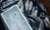 Рыбаки из Ленобласти могут получить 5 лет за незаконный улов