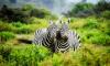 Биологи выяснили, зачем зебрам нужны полоски