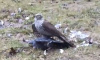 Сапсан растерзал голубя в жилом дворе на Дунайском