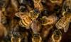 В Ломоносовском районе коммунальщики спасли 87-летнюю пенсионерку от пчел
