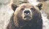 В Иркутской области медведь забрался в дом к пенсионеру и загрыз его