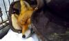 """В """"Велесе"""" борются за жизнь сбитой на дороге лисицы"""