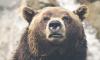 На Камчатке 70 голодных медведей заблокировали популярную у туристов трассу