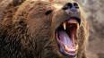 Медведь напал на туристов на Камчатке. Пострадавшая ...