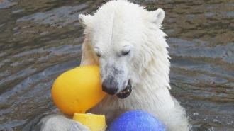 После смерти Услады в Ленинградском зоопарке появится новый медведь